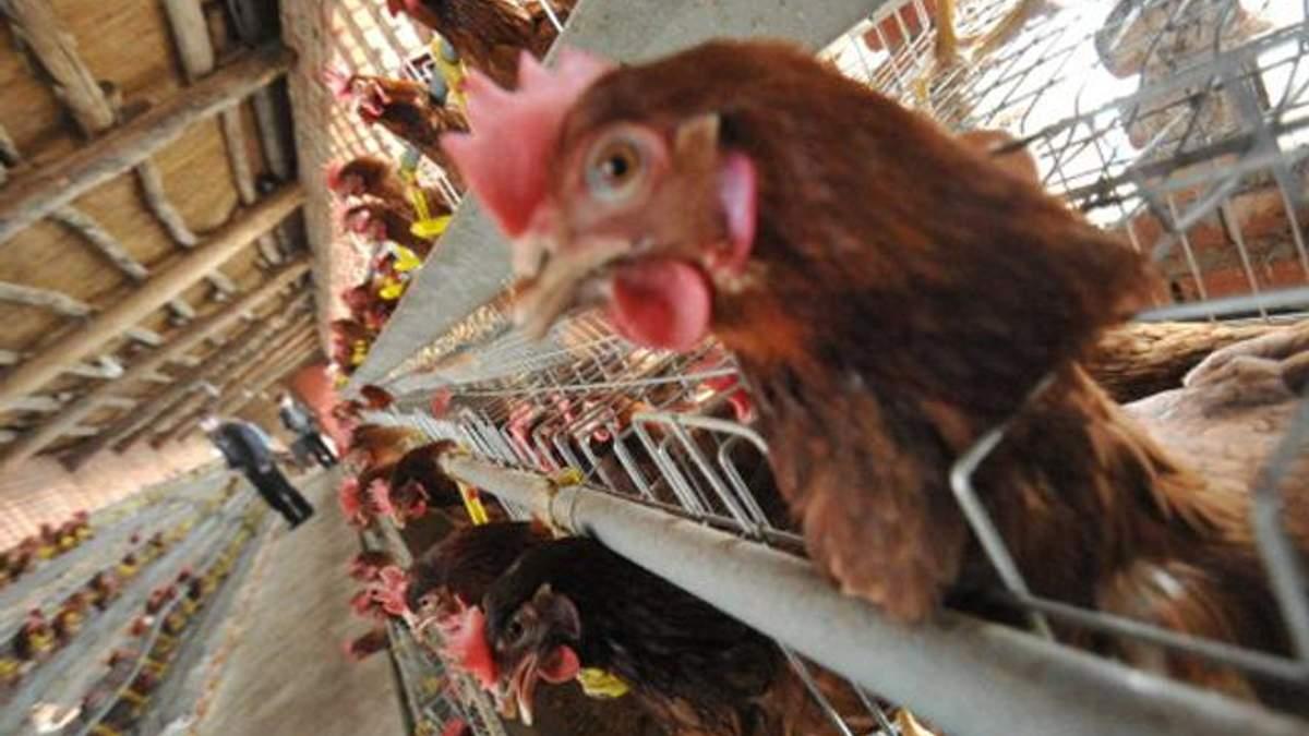 У Нідерландах виявили вірус пташиного грипу