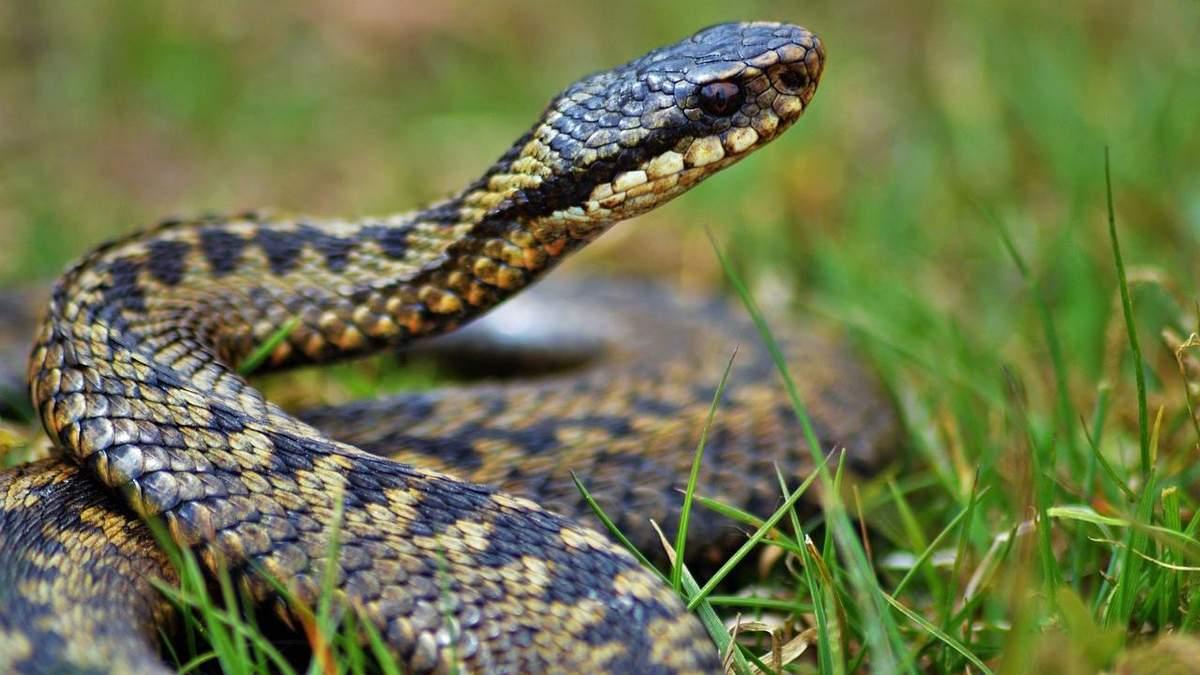 Що робити при укусі змії - перша допомога