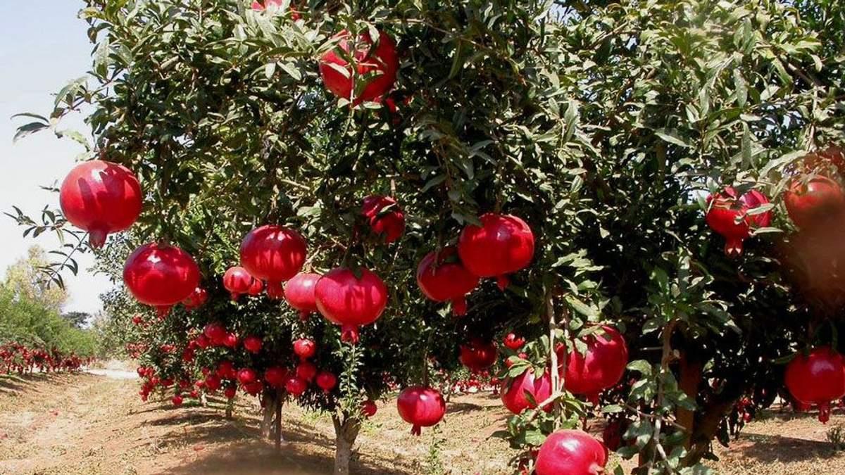 В Австралии партия фруктов из Египта оказалась зараженной гепатитом А
