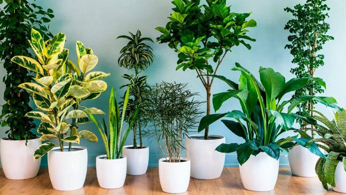 Які кімнатні рослини є найкориснішими для здоров'я