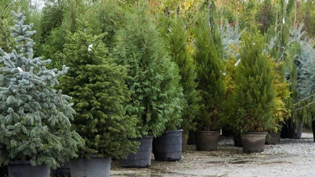 Новогодняя елка может быть вредной для здоровья