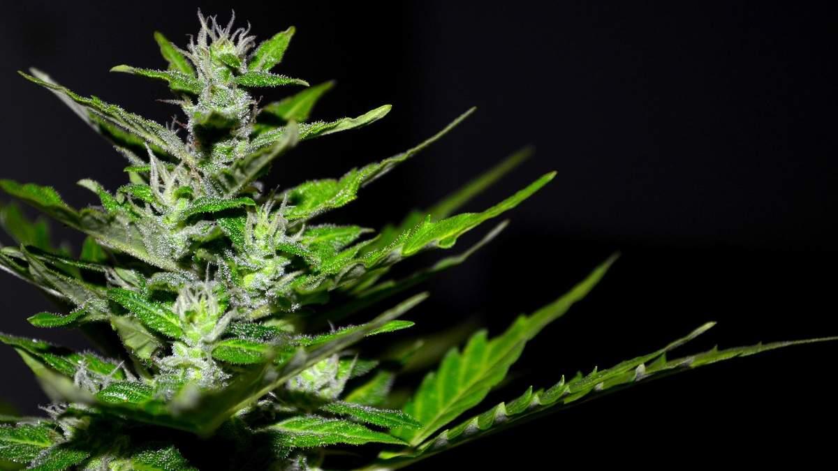 Супрун поддержала использование марихуаны в медицинских целях