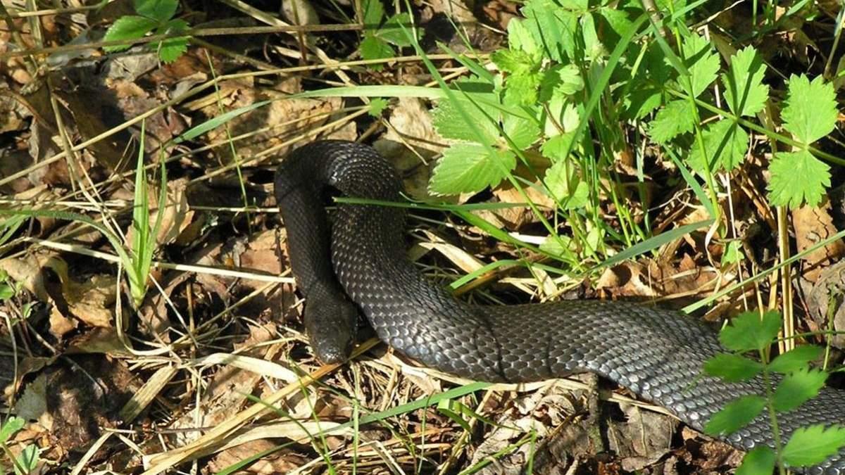 В Черновцах 9-летнего мальчика укусила змея