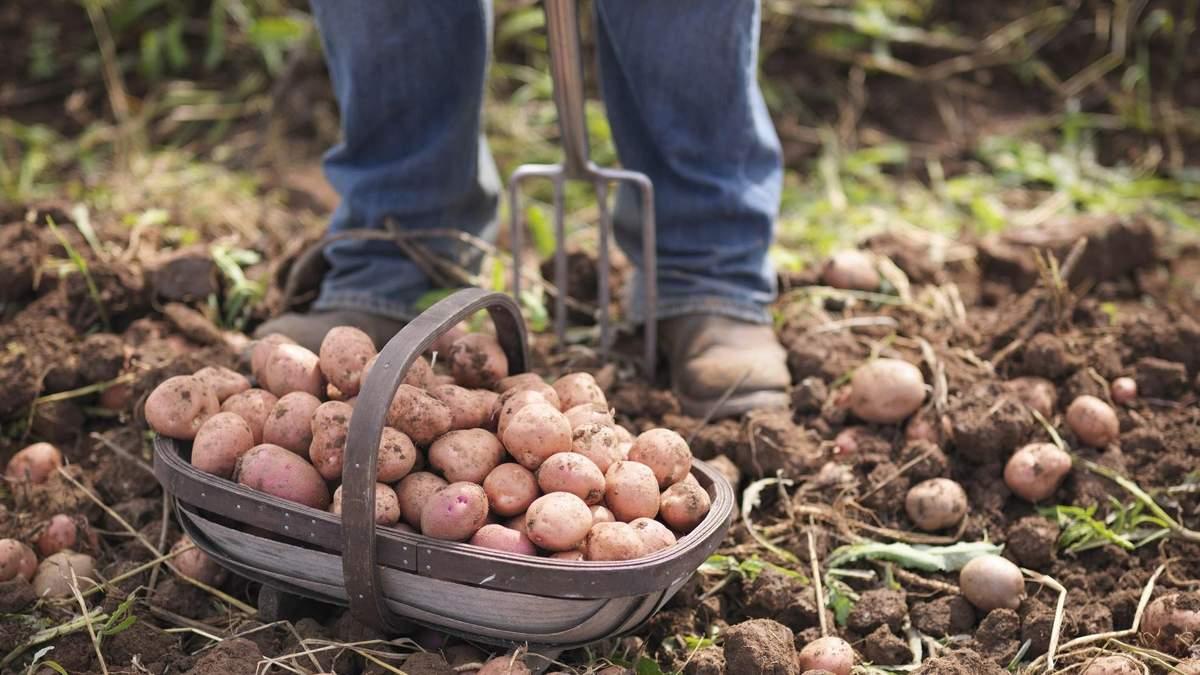 Як безпечно копати картоплю