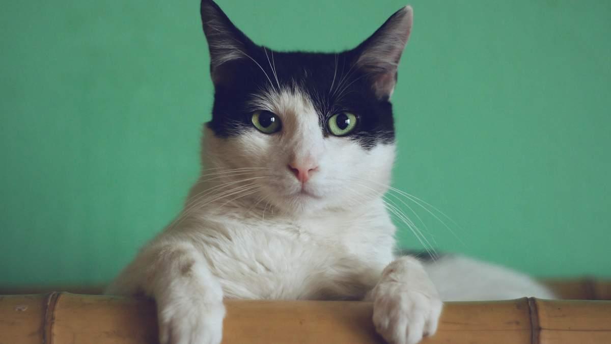Міміка котів