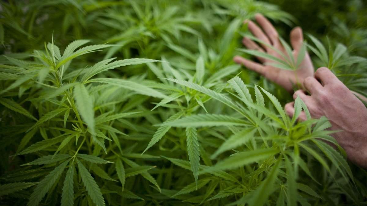 В Украине впервые оправдали мужчину, который выращивал марихуану