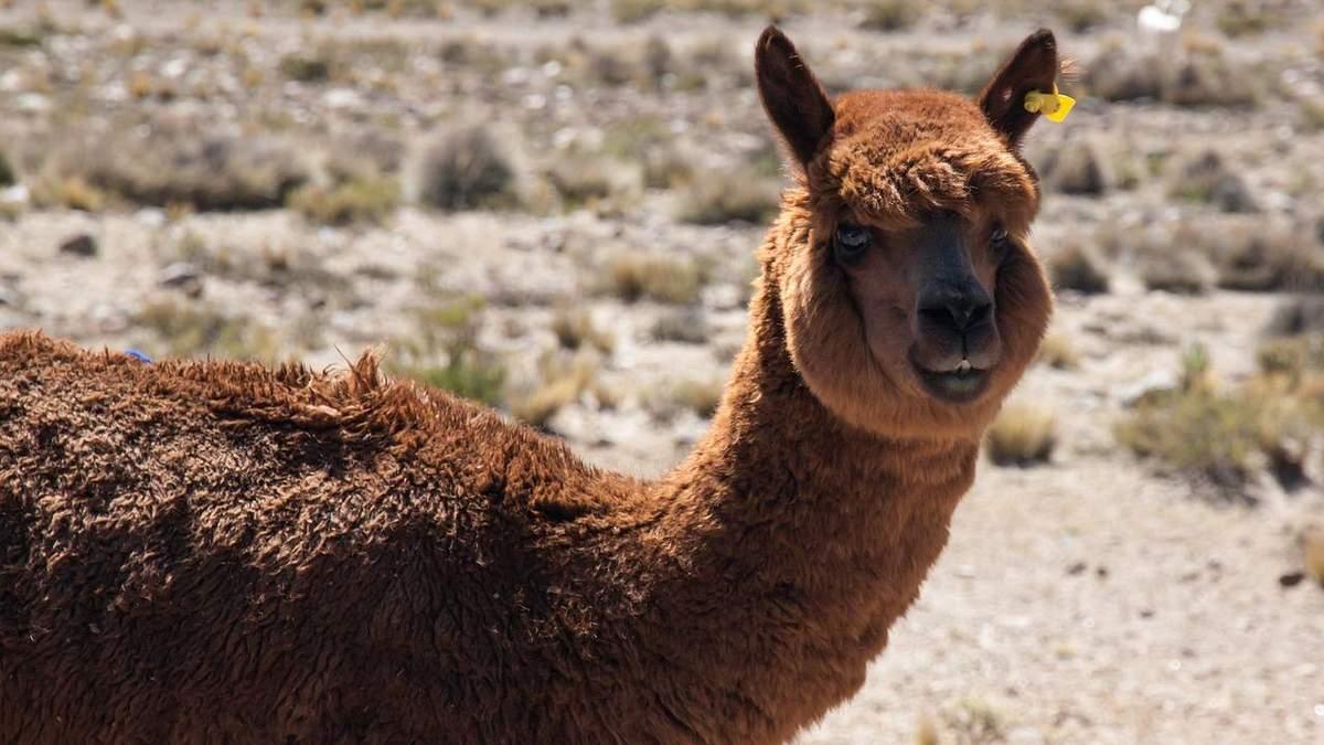 Як лама може допомогти у боротьбі з коронавірусом