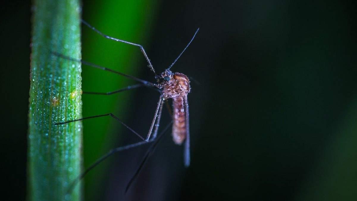 Могут комары передавать коронавирус: ответ Минздрава –24 Канал