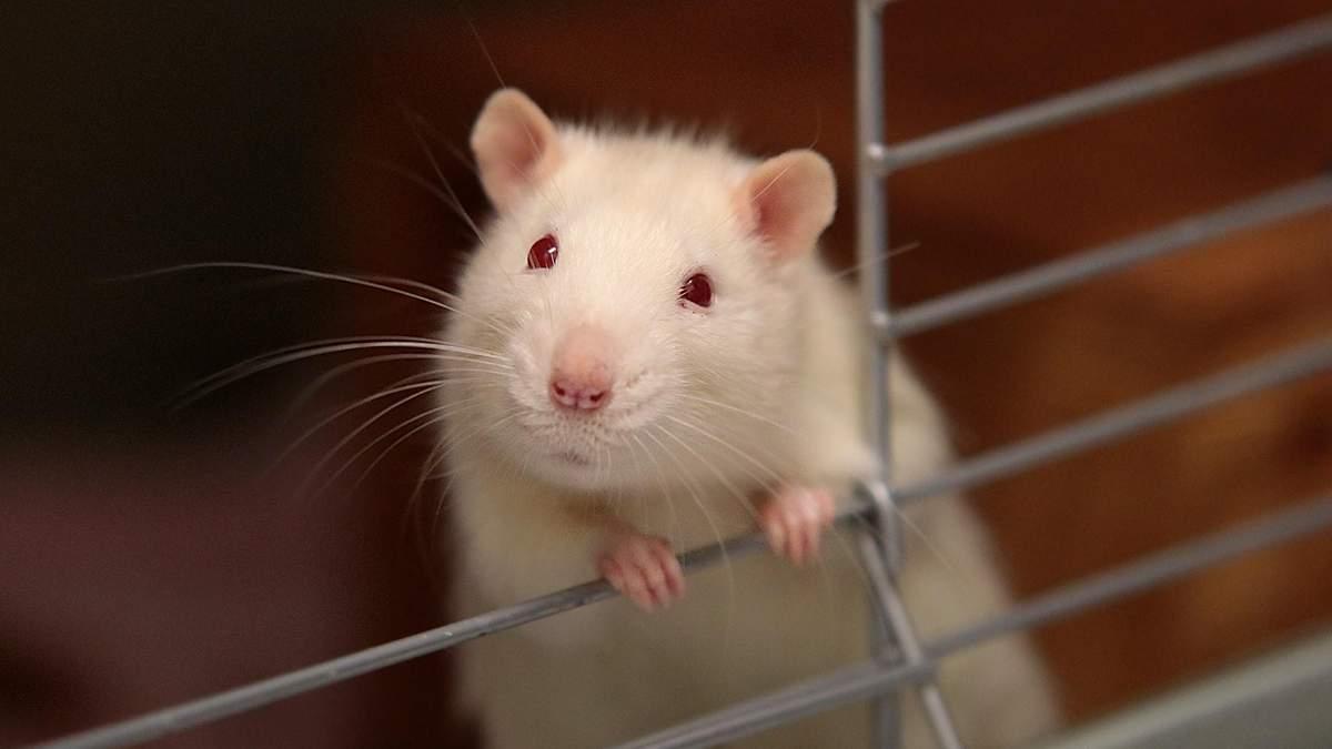 Китайские ученые заразили крыс коронавирусом