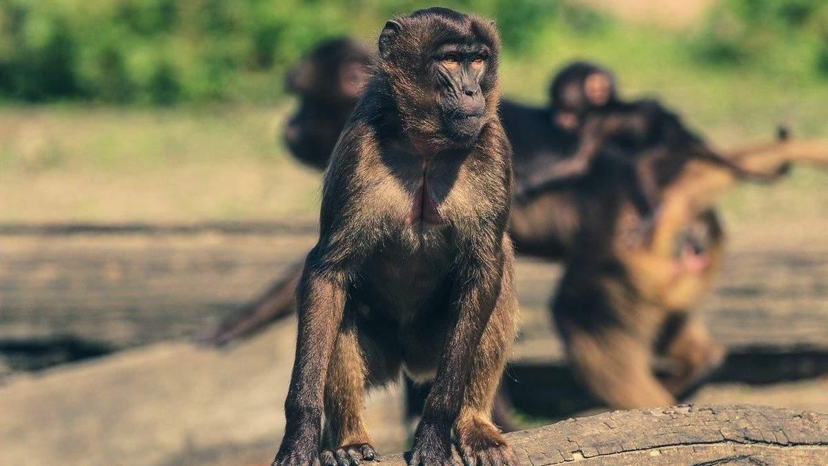 В Индии группа обезьян напала на лабораторию и украла образцы крови пациентов с COVID-19: видео