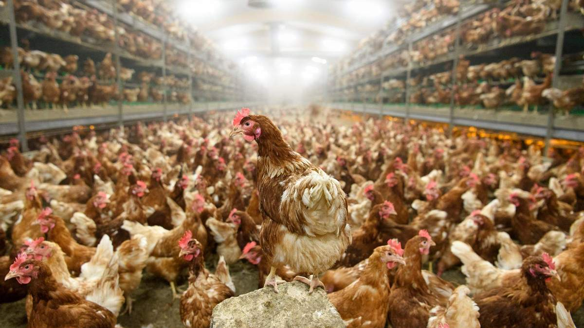 Птицефермы могут быть источником новой пандемии