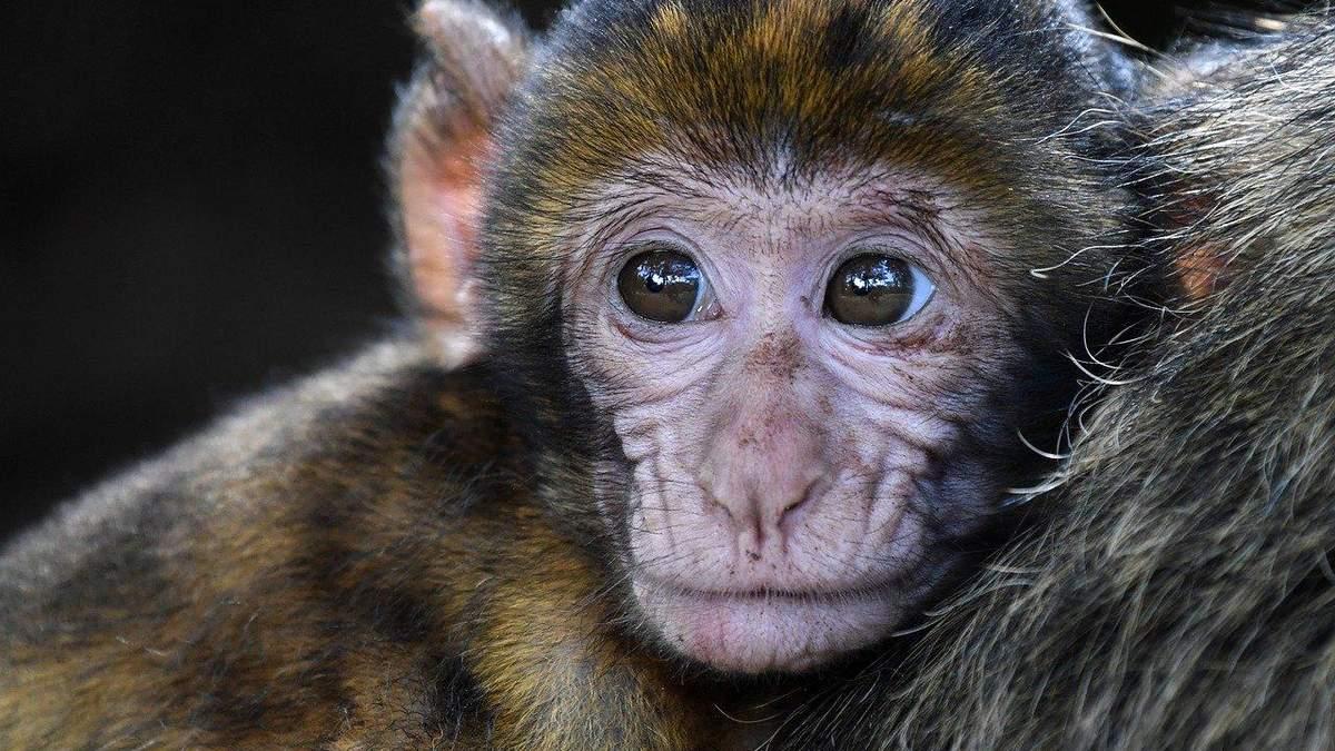 Інфікування мавп коронавірусом