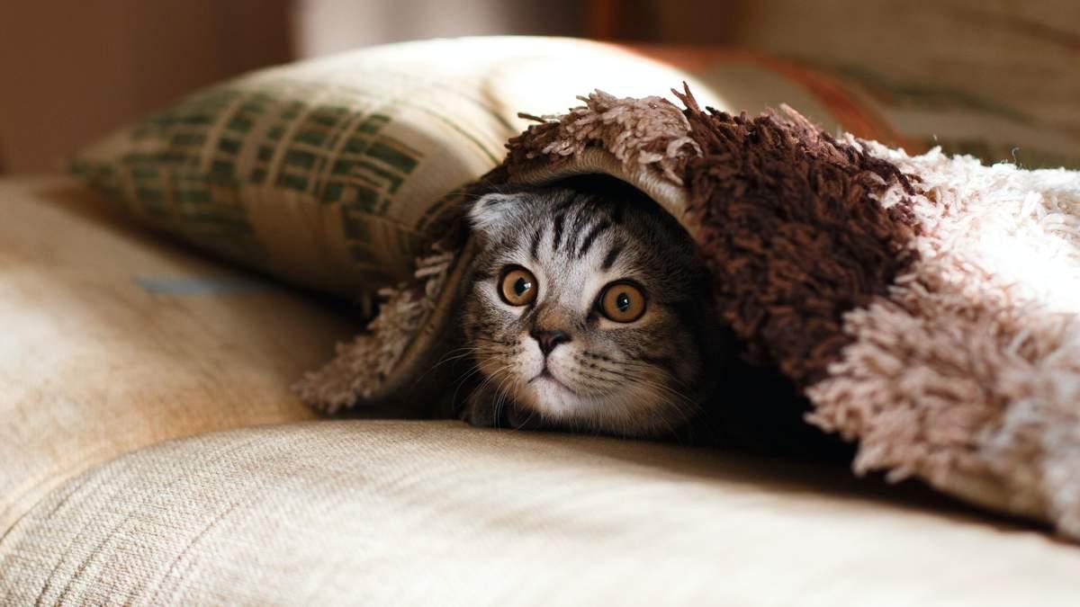 У Британії виявили перший випадок зараження COVID-19 у домашнього кота