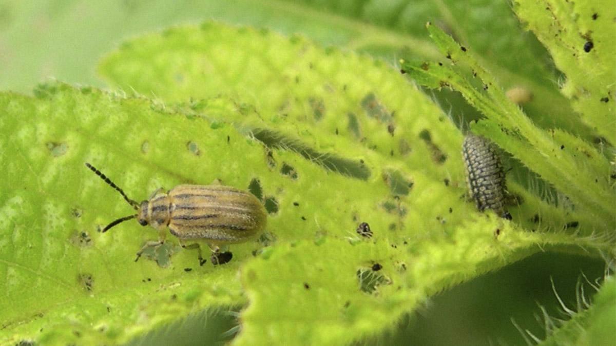 Маленький жук може врятувати мільйони людей від алергії
