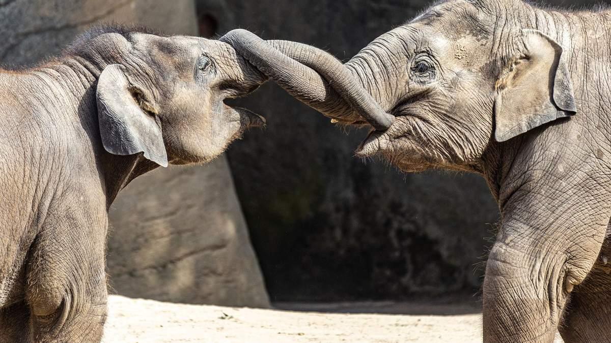 Слонам дадут коноплю