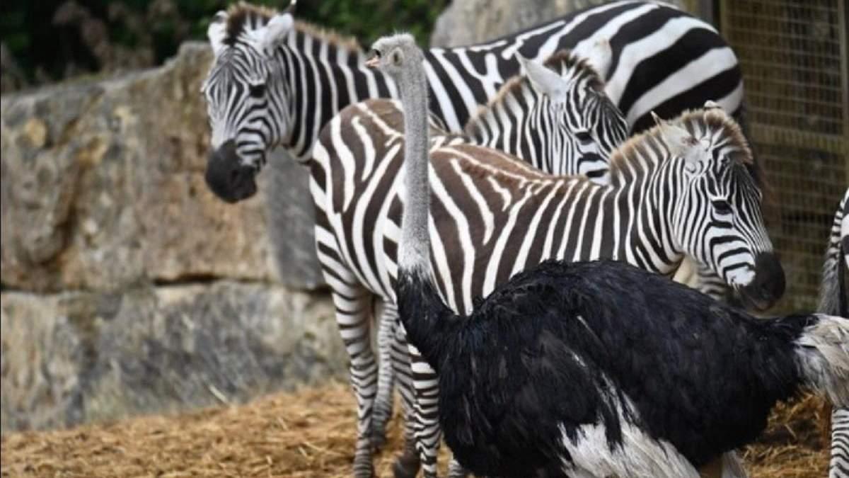 Криза ідентичності: в британському зоопарку страус кинув самку та почав жити з зебрами