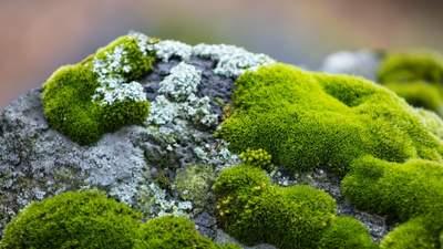Чи може ісландський мох допомогти вилікувати застуду