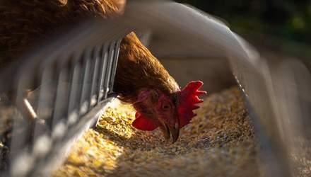 Спалах пташиного грипу на Миколаївщині: хворобу виявили у ще одному селі