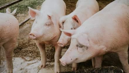 В США дозволили їсти ГМО-свиней та використовувати для медицини
