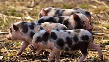 Массовую трансплантацию органов от ГМО-свиней к людям хотят начать в следующем году