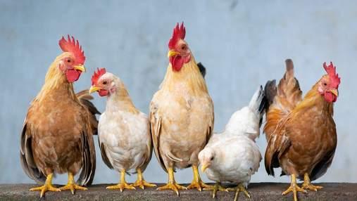 На Київщині виявили осередки пташиного грипу: що відомо