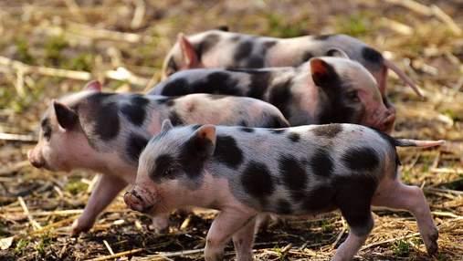 Масову трансплантацію органів від ГМО-свиней до людей хочуть розпочати у наступному році