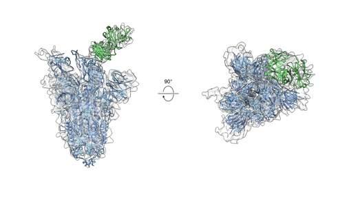 Разработали универсальное антитело против мутаций SARS-CoV-2 и большинства коронавирусов