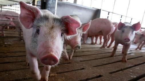 Біля Броварів виявили африканську чуму свиней: чому це небезпечно