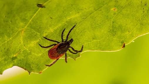 Обережно – кліщі: поширені помилки та корисні поради для захисту від паразитів