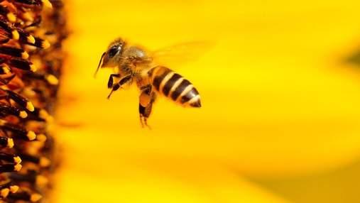 Пчел научили определять коронавирус: им хватает нескольких секунд