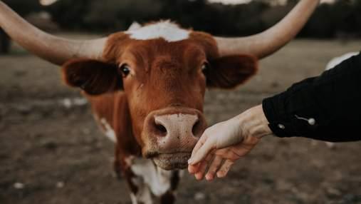 В Индии люди массово лечат коронавирус коровьими фекалиями