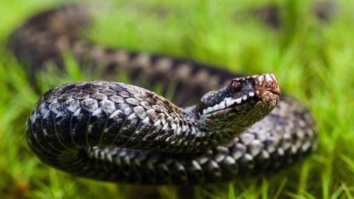 На Львівщині 72-річну бабусю вкусила змія: жінка потрапила до лікарні