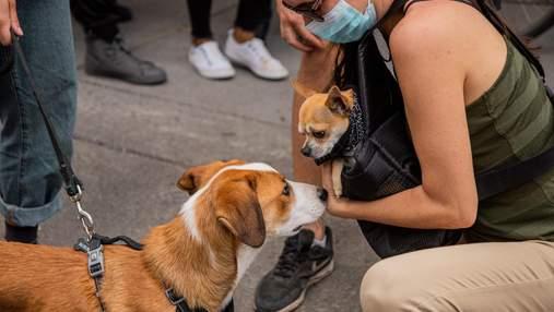 Собаки краще визначають коронавірус, ніж експрес-тести