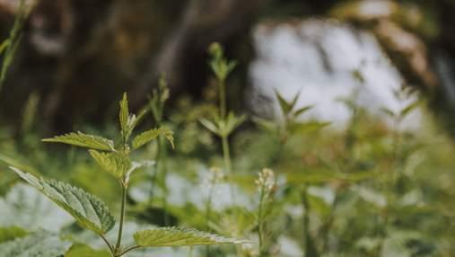 Які рослини в Україні небезпечні та що робити після контакту з ними