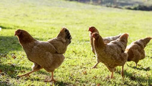 Власти Индонезии раздают живых цыплят жителям, которые хотят прививаться от COVID-19