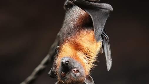 Невідомий вірус виявили у кажанів з Великої Британії