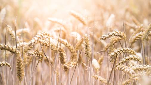 В Великобритании начнут выращивать мутировавшую пшеницу, которая поможет в борьбе раком