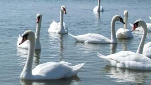 На Херсонщині – пташиний грип: через це загинули десятки лебедів